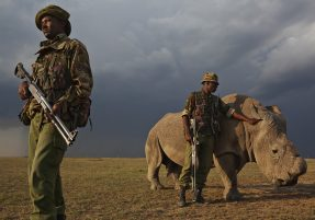 "OL PEJETA CONSERVANCY, KENYA, JULY 2011:  A four man anti-poaching team permanently guards Northern White Rhino on Ol Pejeta Conservancy in Kenya, 13 July 2011. The Ol Pejeta Conservancy is an important ""not-for-profit"" wildlife conservancy in the Laikipia District of Kenya and the largest sanctuary for black rhinos in East Africa. It is also the home of 4 of the world's remaining 8 Northern White Rhino, the worlds most endangered animal. There has been an increase in poaching incidents on Ol Pejeta recently, in line with a massive worldwide increase in rhino poaching linked to the rise in the Asian middle class. Anti-poaching teams provide close protection to the rhino, with 24 hour observation over all rhino on Ol Pejeta and 24 hour armed guard protection over the 4 Northern White Rhino who are kept in their own Boma area. The team have developed extraordinary relationships with these Rhino, leaning on them, scratching them and displaying tremendous affection towards these most endangered of animals. Each of the men in these teams feels a genuine vocation towards the protection of these animals, something the rhino seem to sense, and this emerges on a daily basis as the men walk with the rhino through their day. (Photo by Brent Stirton/Reportage for National Geographic.)"
