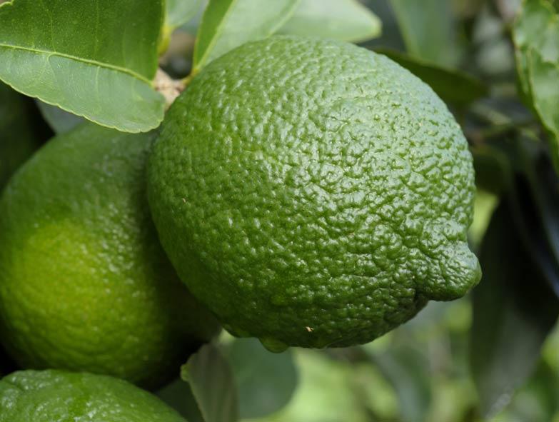Limón Persa