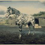 Leopard Appaloosa Rdr2 Red Dead Online Horses Database Statistics Red Dead Redemption 2