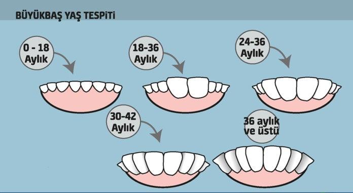 kurbanlık dana süt dişleri ile ilgili görsel sonucu