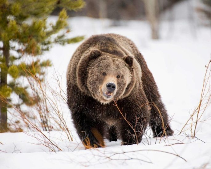 This adult male grizzly bear was spotted in April in the northern portion of Grand Teton