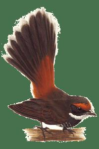 Chichirika (Rufous Fantail)