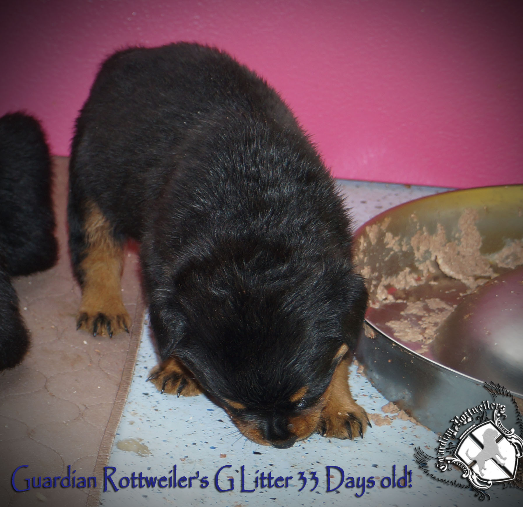 Best Rottweiler Chubby Adorable Dog - glitter33days  Image_19649  .jpg