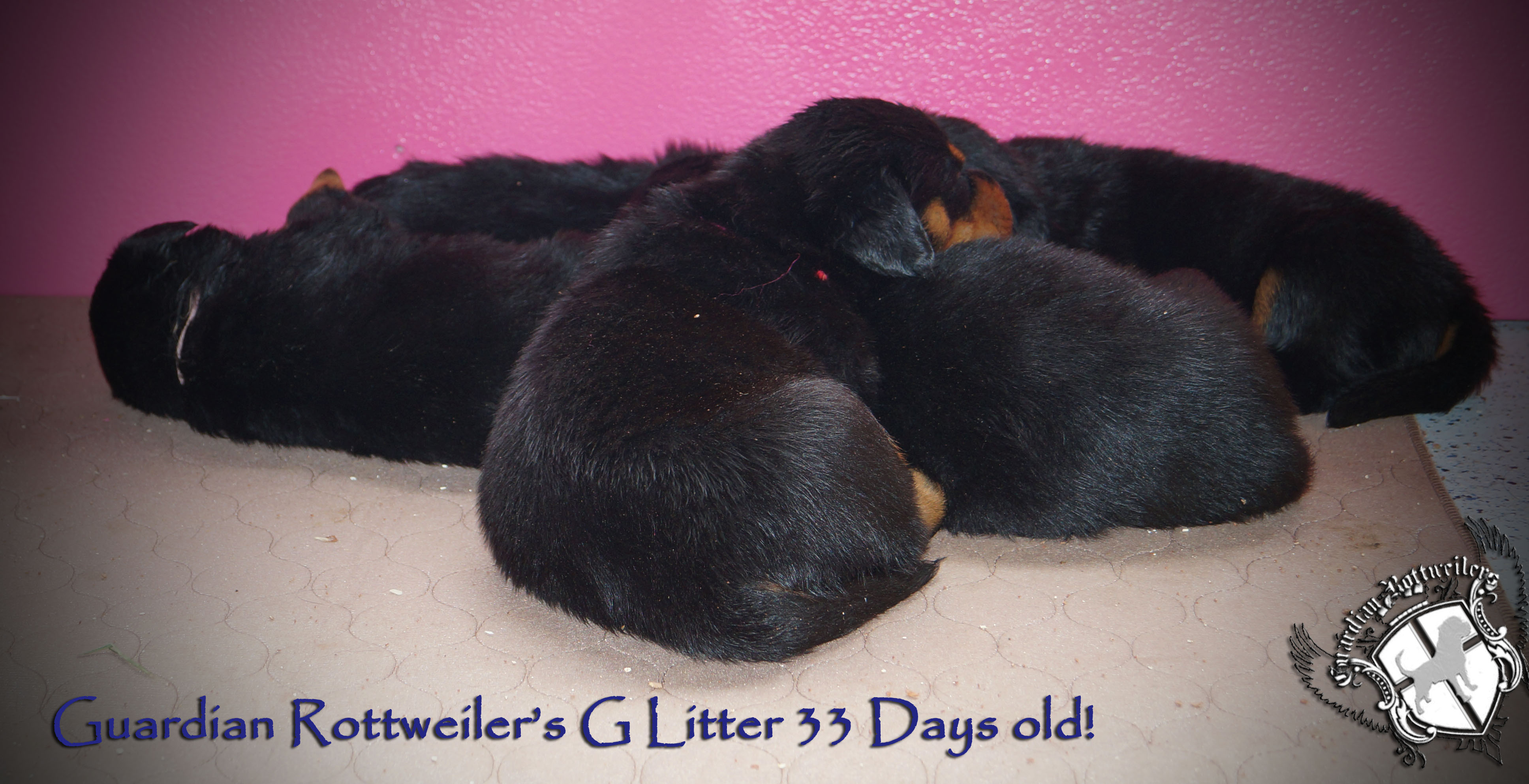 Best Rottweiler Chubby Adorable Dog - glitter33days01  Image_19649  .jpg