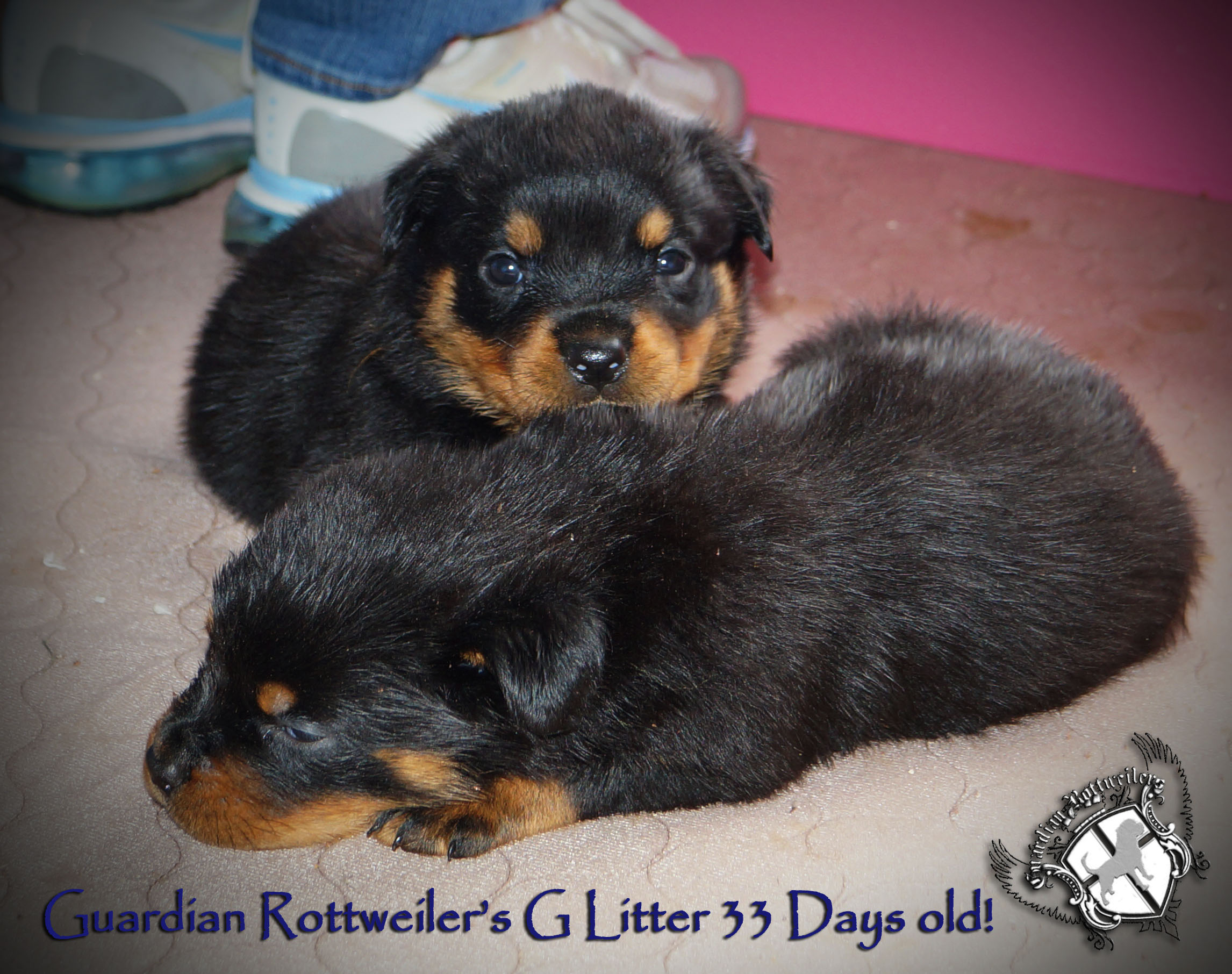 Most Inspiring Rottweiler Chubby Adorable Dog - glitter33days03  Pic_423465  .jpg