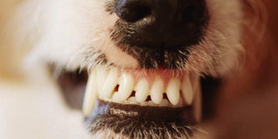 Dentadura de perro bien limpia