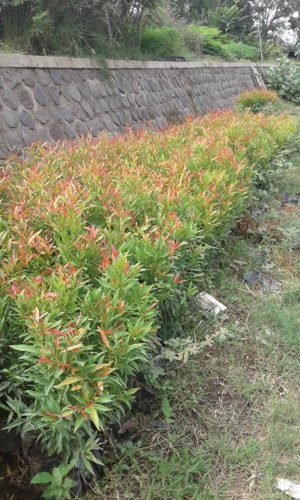 Unduh 670+ Gambar Bunga Pucuk Merah Paling Keren
