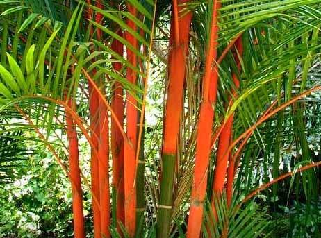 jual pohon palem merah