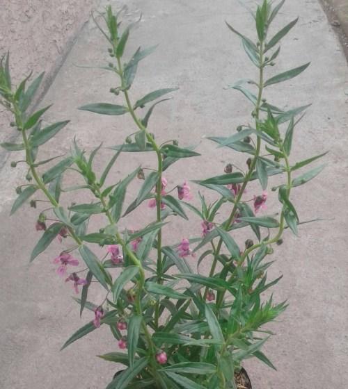 jual pohon lavender asli