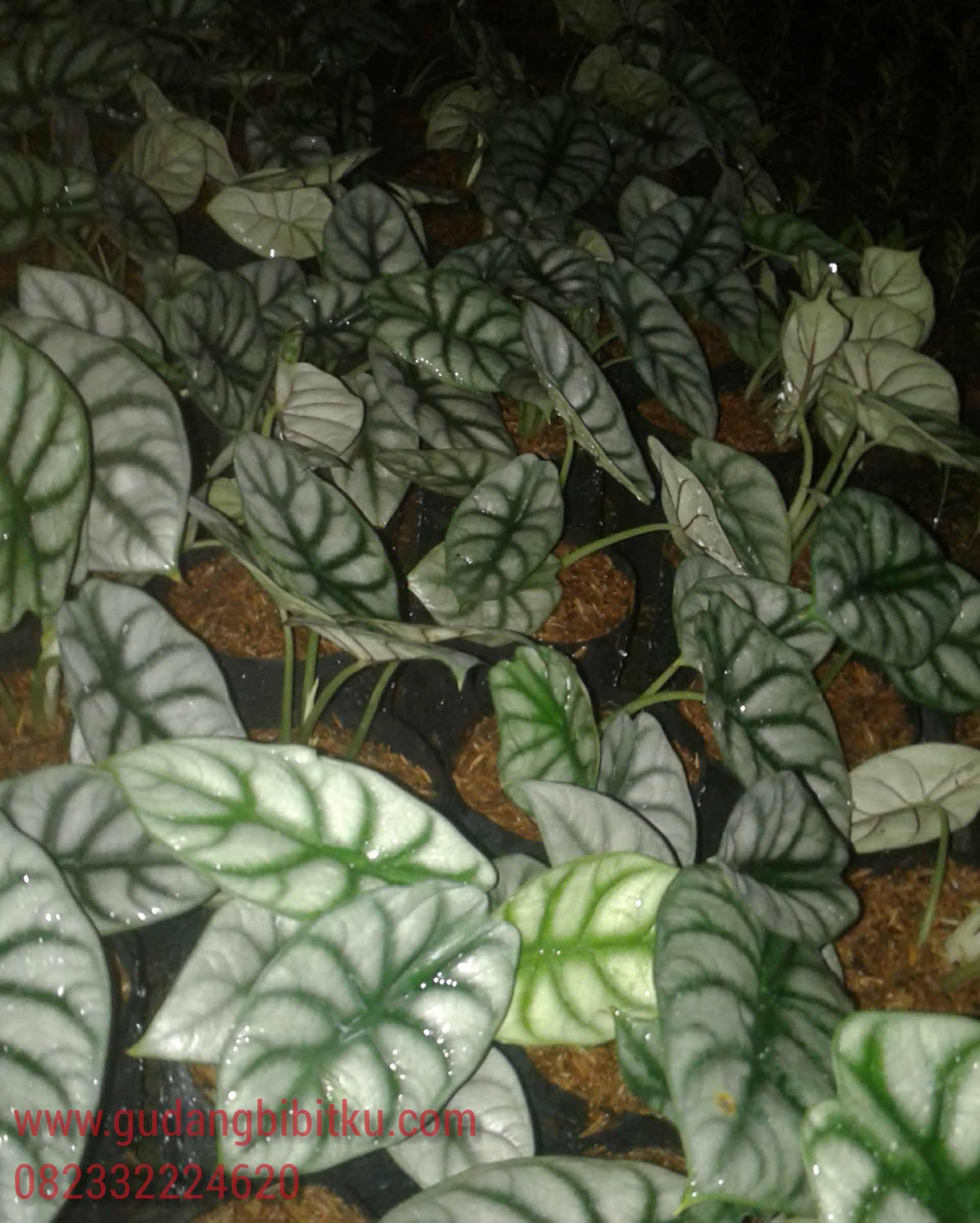alocasia black velvet