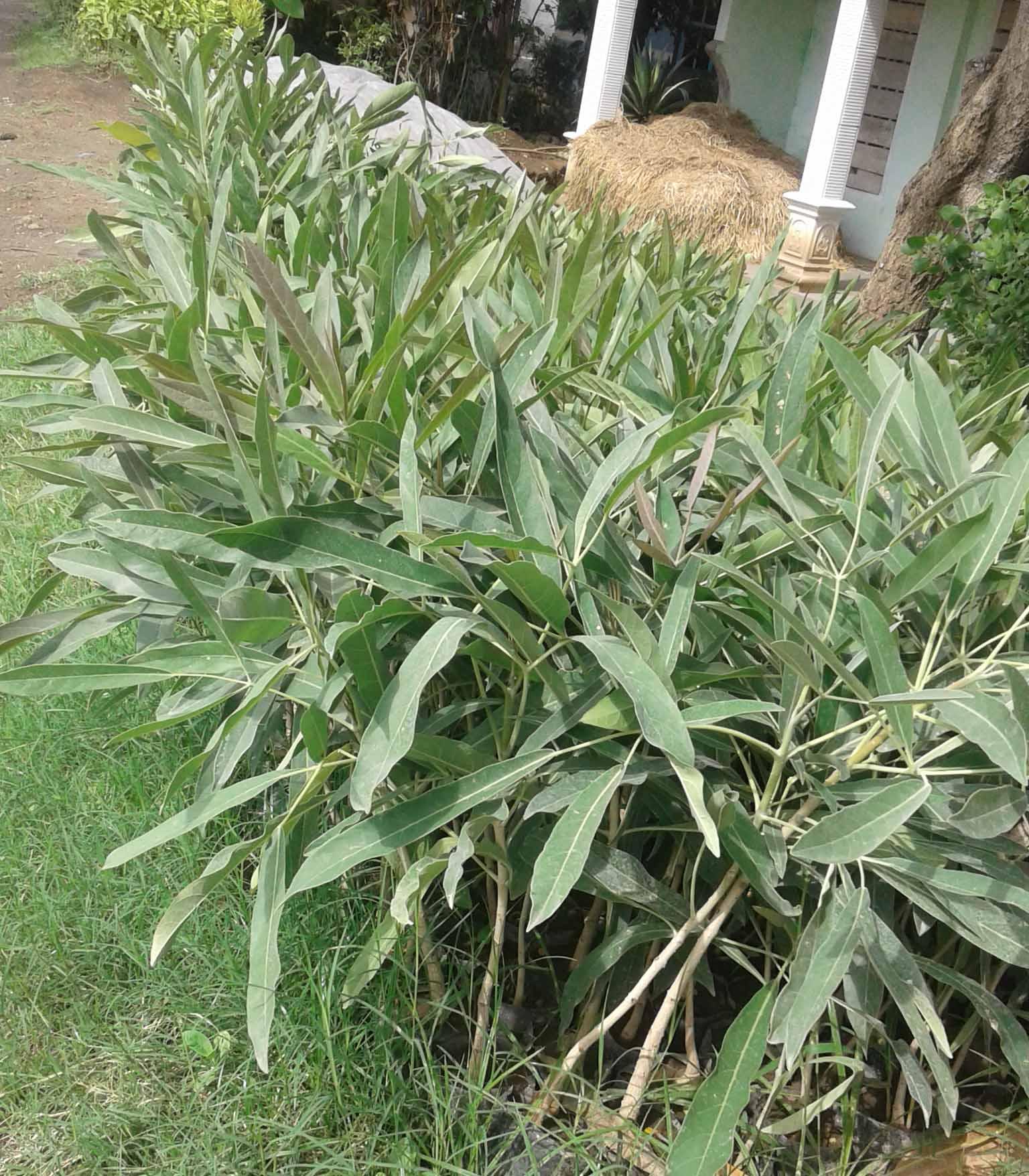 pohon tabebuya ungu