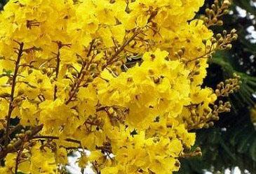bunga tabebuya purwokerto