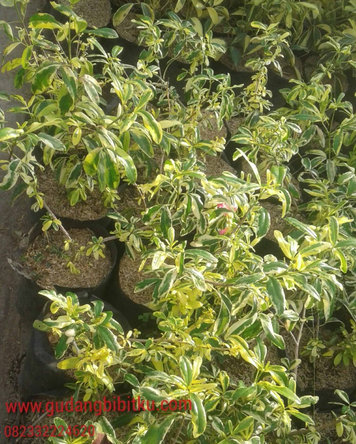 daftar harga tanaman hias murah