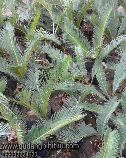 jenis tanaman sikas