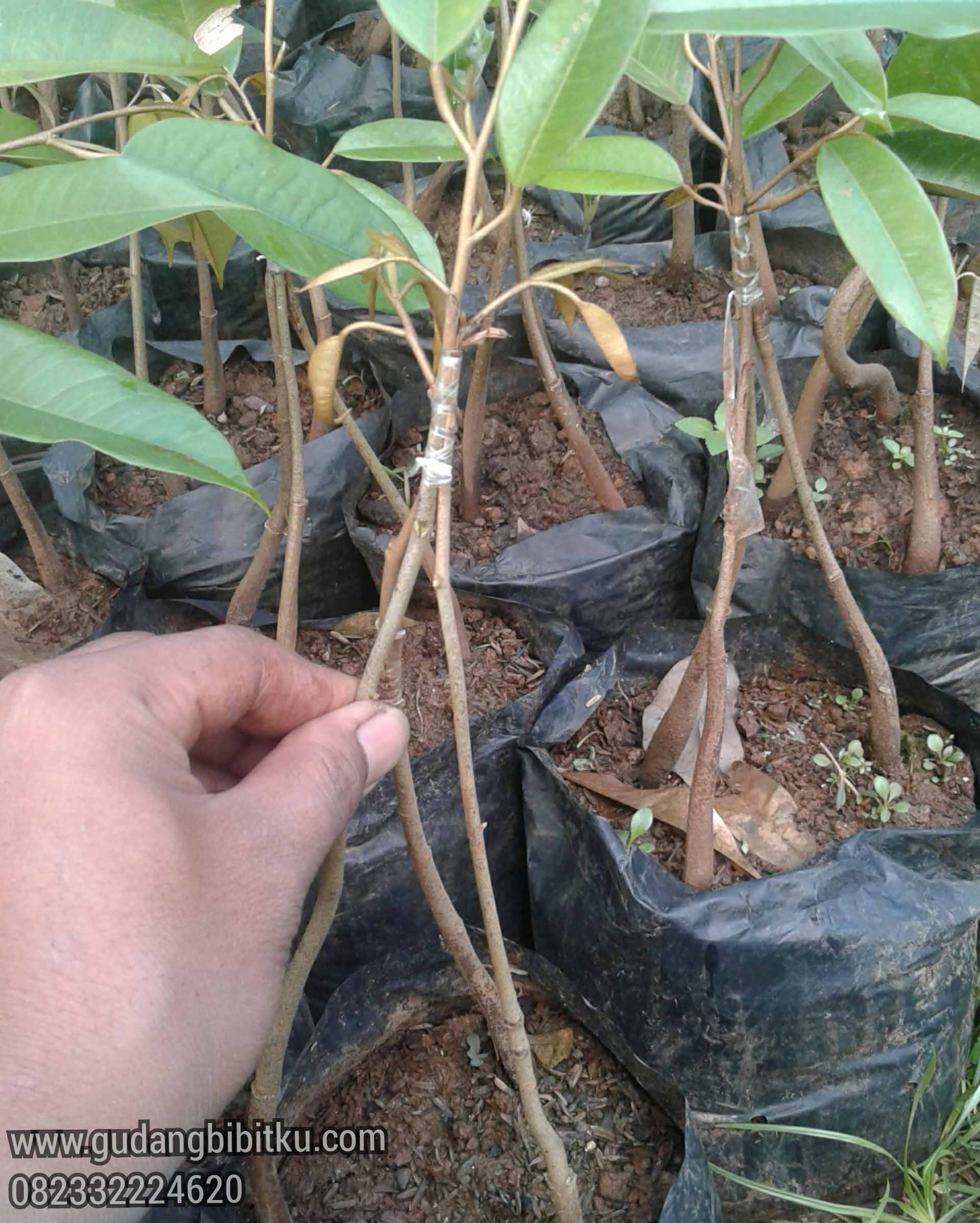 tinggi pohon durian bawor