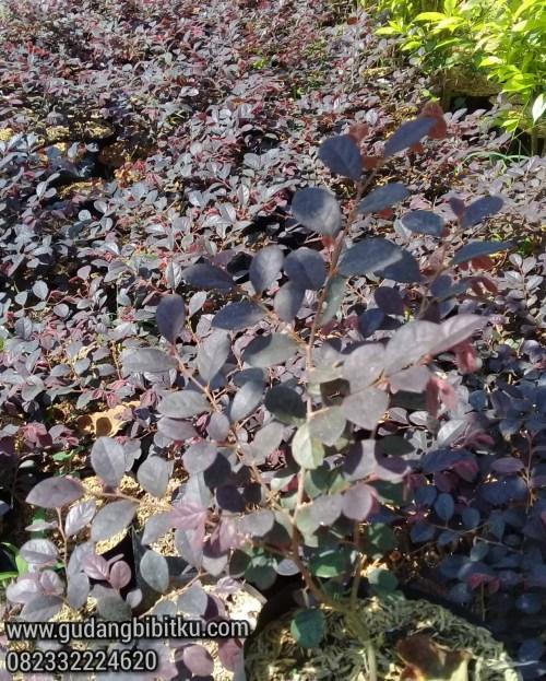 serut merah bonsai