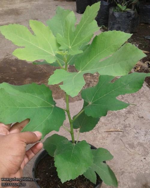 Harga pohon tin hijau