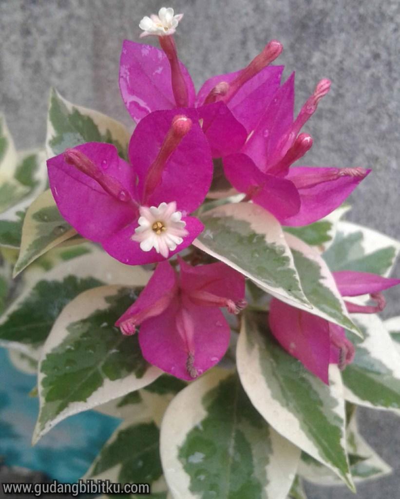 Bunga varigata merah