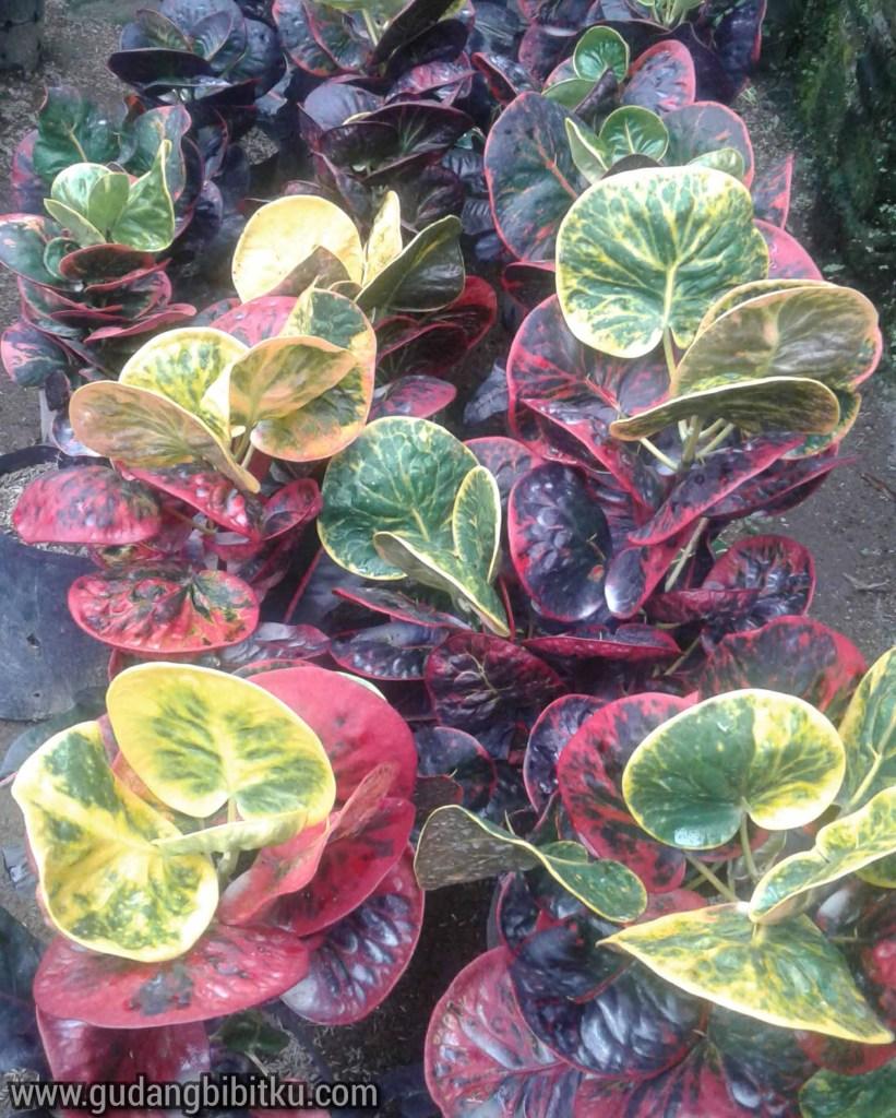 Bunga puring termahal