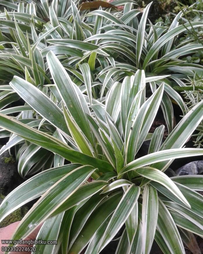 Media tanam tanaman spider plant