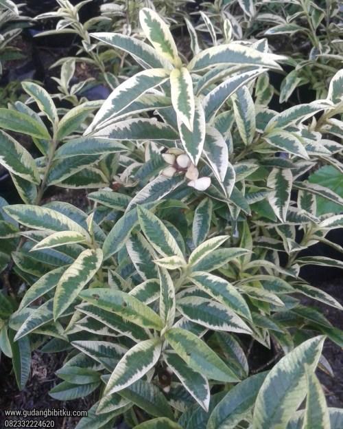 Jenis jenis tanaman varigata