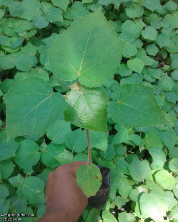 Harga biji pohon balsa