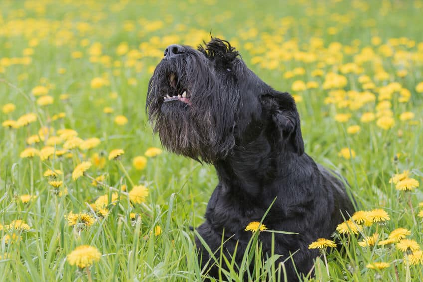 Black dog in the field.