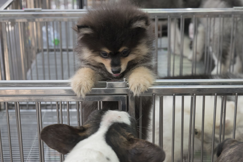Puppy in a cage for selling in the pet market