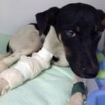Cachorra atropelada fica 14 horas em para-choque