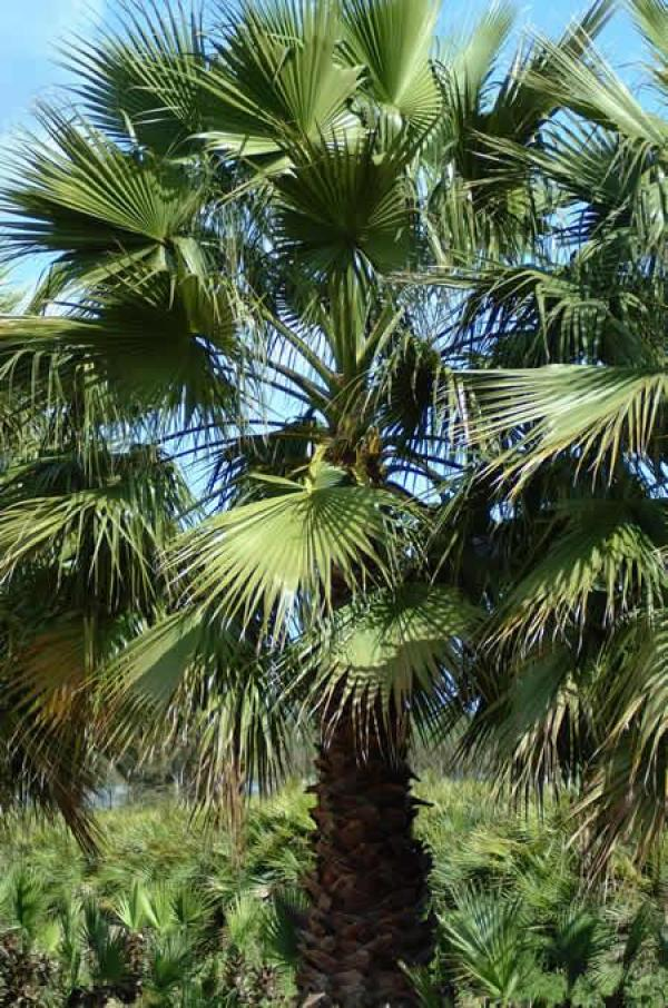 palma messicana, è un genere appartenente alle Arecaceae; è una palma originaria del Messico il cui nome fu scelto in onore di George Washington