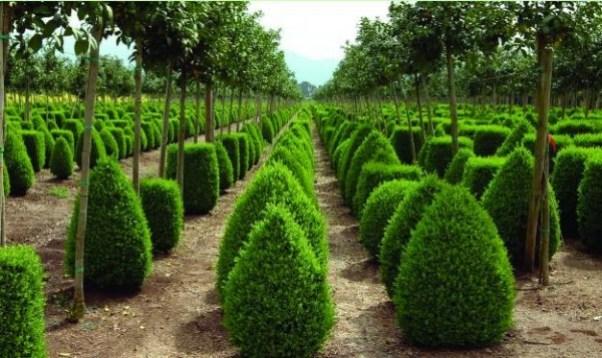 Bosso, Bossolo o Mortella, è una pianta della famiglia delle Buxaceae che cresce spontanea in Italia nelle zone aride, rocciose e prevalentemente calcaree