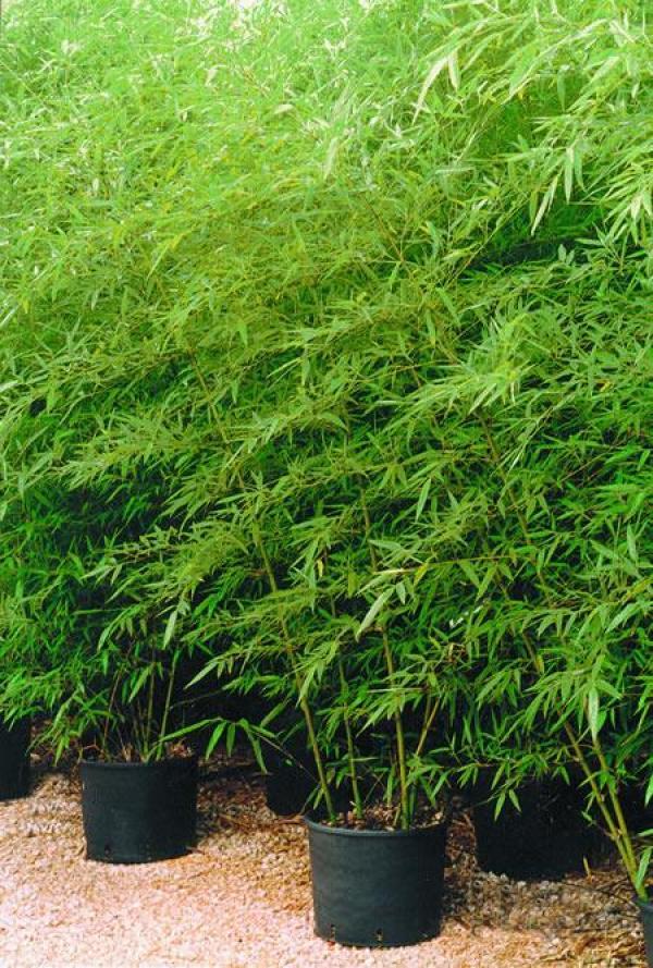 Phyllostachys aurosulcata, una specie originaria della Cina, i cui steli verde scuro con punte di giallo sono molto utilizzati per creare zone di divisione all'interno del giardino
