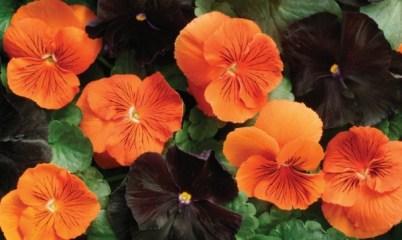 fiori arancioni e neri