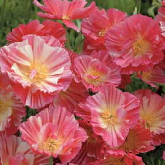 Il papavero della California, o Eschscholzia californica, è, come il Cosmo, un fiore di campo
