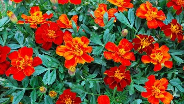 il Nasturzio è una pianta con proprietà antibatteriche e, oltre a produrre bellissimi fiori, ci aiuterà ad allontanare gli insetti dannosi