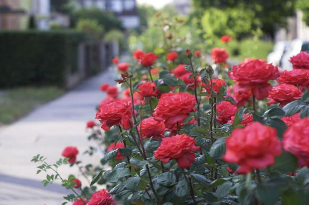 Cultivo de rosas 1