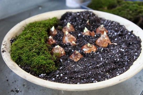 piantare Narcisi e Amaryllis in vaso