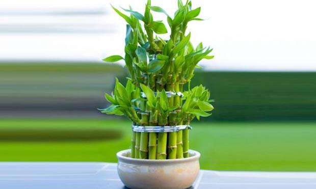 Il cosiddetto Bamboo della fortuna è una pianta di origini africane che cresce molto bene in assenza di illuminazione