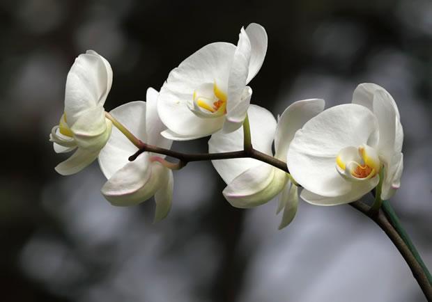 Le Orchidee del genere Phalaenopsis sono di grande bellezza e contribuiscono molto alla decorazione di una stanza
