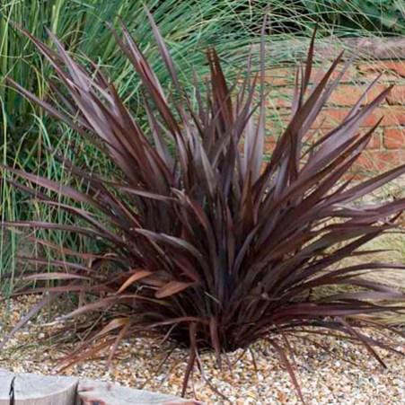 Il cosiddetto lino della Nuova Zelanda, nome generico del Phormium, è un altro impianto con una struttura simile alla Yucca