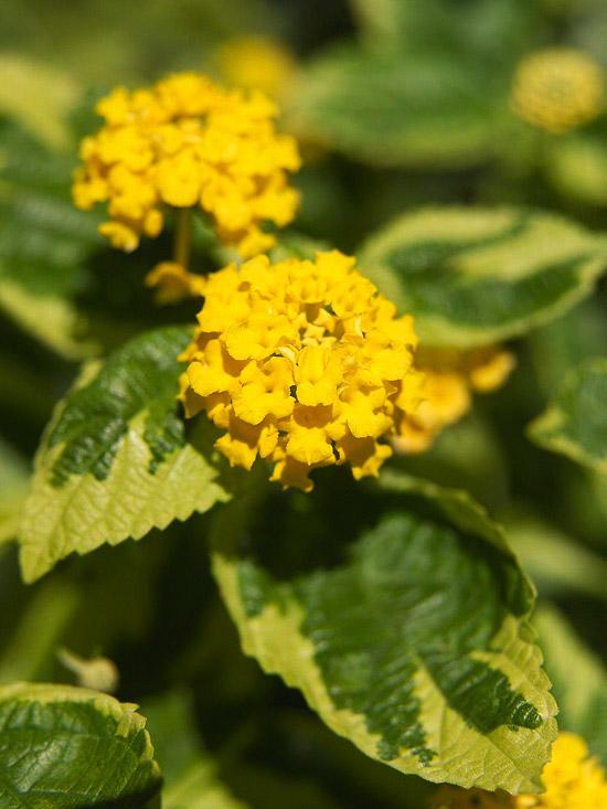 Di Lantana ne esistono circa 160 specie con diverse tipologie di fioritura e in svariati colori: rosso, giallo, rosa, arancio e bianco