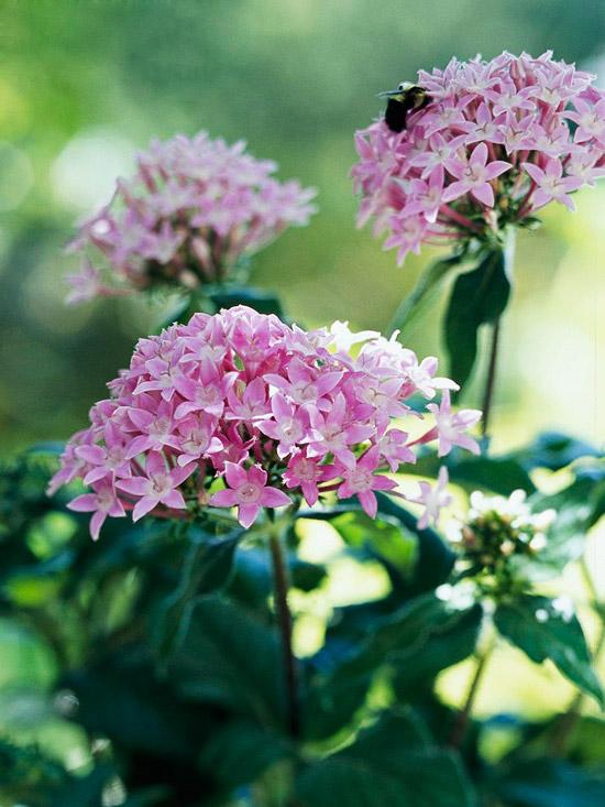 Le Pentas sono piante perenni molto decorative che, con temperature sufficientemente elevate, continuano a fiorire anche durante i mesi freddi.