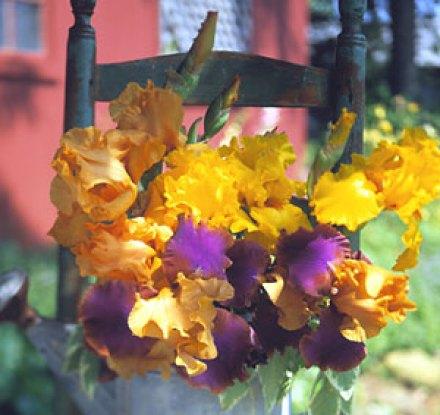 coltivare l'Iris barbato