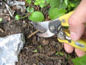 moltiplicare gli arbusti per propaggine