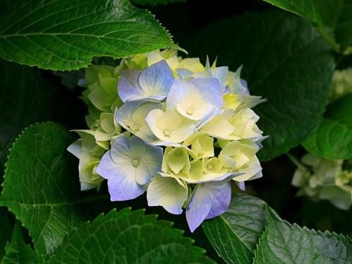 L'ortensia è una delle più comuni piante ornamentali che si utilizzano per decorare terrazzi e giardini; grazie alle sue svariate colorazioni è ideale per creare atmosfere suggestive