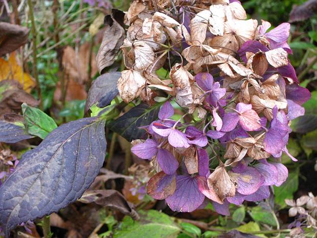 colorazione marrone estesa sulla superficie maggiore delle foglie e anche dei petali