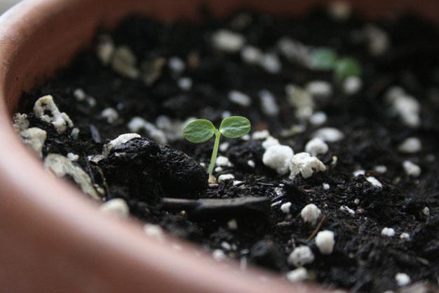 coltivare i kiwi partendo dalle sementi