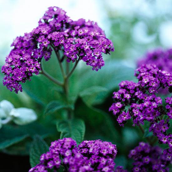 L'Eliotropio è una pianta arbustiva annuale di facile manutenzione, che può essere coltivata sia all'interno in vaso che all'esterno direttamente a terra