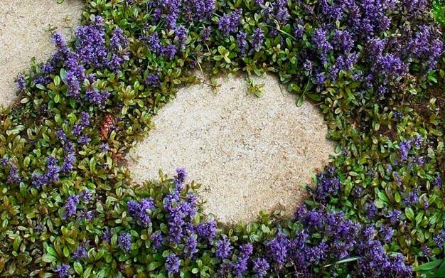 Ajuga reptans, una piccola pianta erbacea, perenne e sempreverde, dalla crescita strisciante, che non supera i 20 cm di altezza, caratterizzata da una bellissima inflorescenza di colore viola/blu