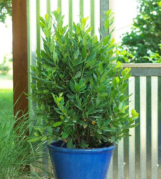 L'alloro, o Laurus nobilis, è un grande arbusto che può essere trasformato in un piccolo albero se coltivato in vaso e adeguatamente potato